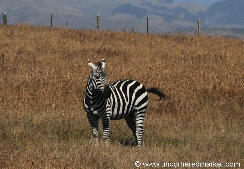 A Zebra Along California's Coast