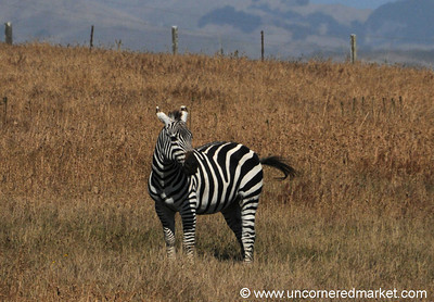 A Zebra Along California's Coast