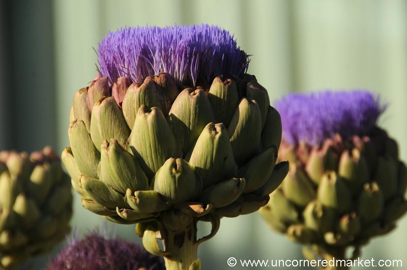 Artichoke Flowers - Los Angeles, California