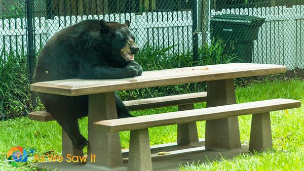 Black bear sitting at a picnic table...Yogi?