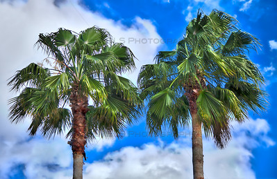 Palm Trees in Tampa, Florida