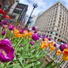 Chicago Tulip Beds on State Street
