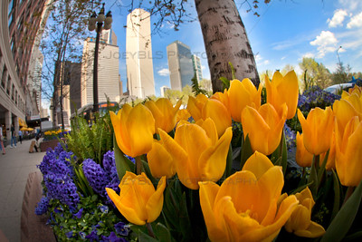 Tulips in Downtown Chicago on Michigan Ave