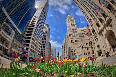 Tulips in Michigan Avenue Median - Chicago, IL