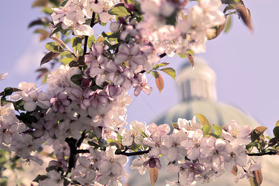 Flowering Trees at the Indiana State Capitol
