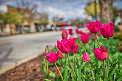 Tulips in Downtown Highland, Indiana