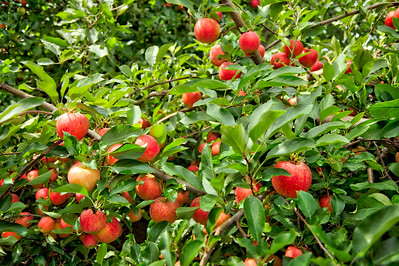 Apple Orchard in Hobart, Indiana