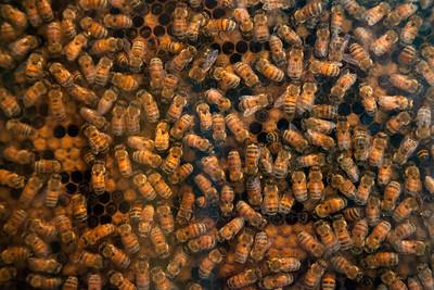 Bees Making Honey in Hobart, Indiana