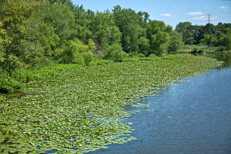 Lily Pads in Deep River in Lake Station, Indiana