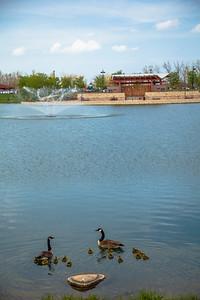 Ducks at Centennial Park in Munster, Indiana