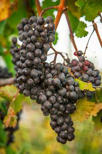Grapes and Vineyards in Lake Leelanau - Leelanau County, Michigan