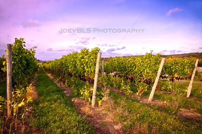 Grapes and Vineyards in Lake Leelanau, Michigan
