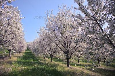 Spring Cherry Blossoms in Leelanau County, Michigan