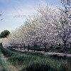 Cherry Orchard Blossoms in Spring