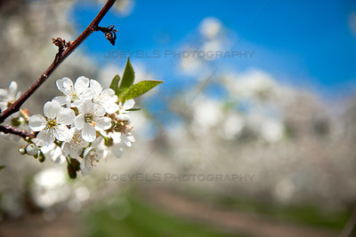 Spring Cherry Blossoms in Leelanau County, Michigan