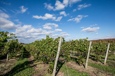 Grapes and Vineyards in Lake Leelanau - Leelanau County, Michigan