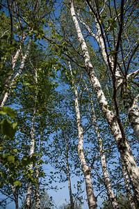 Birch Trees at Sleeping Bear Dunes State Park