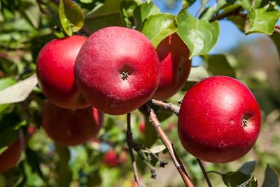 Suttons Bay, Michigan Apples