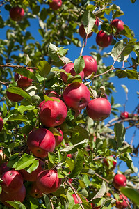 Suttons Bay, Michigan Apples