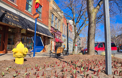 Tulip Sprouts in Downtown Holland, Michigan
