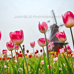 Tulip Time Festival Tulips in Holland, Michigan