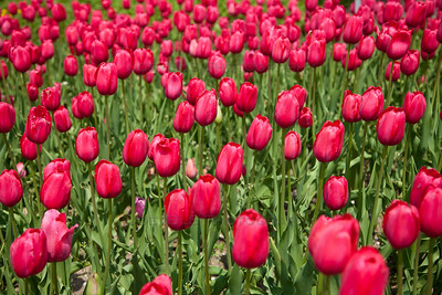 Tulip Time Festival Tulips in Holland, Michigan