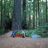 Redwoods are the tallest tree in the world