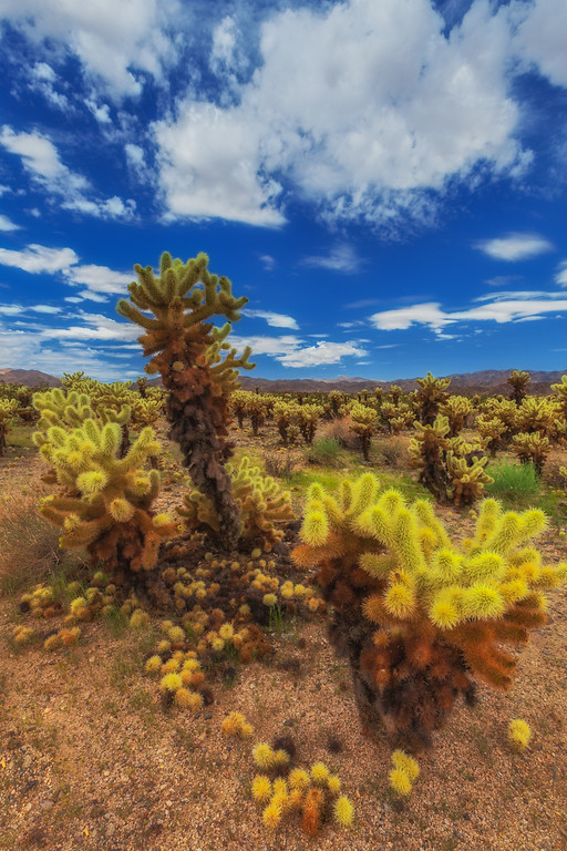 Bursts of colour in the desert landscape of Joshua Tree National Park