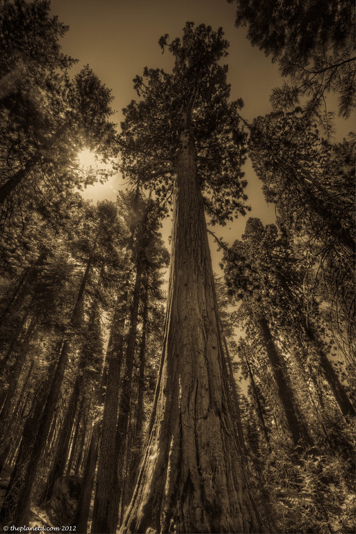 The magical Sequoia trees of Yosemite National Park