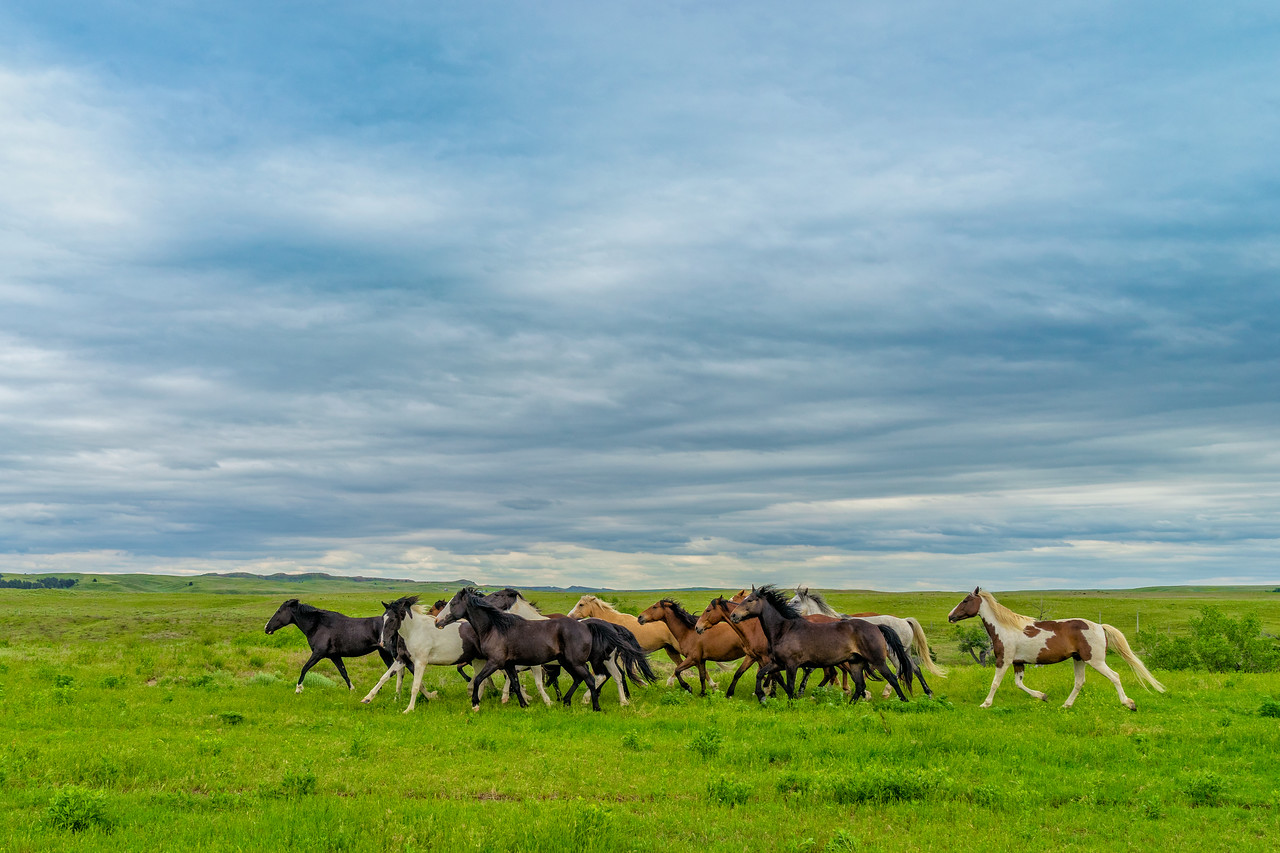 Wild Mustangs run free in the Black Hills of South Dakota.