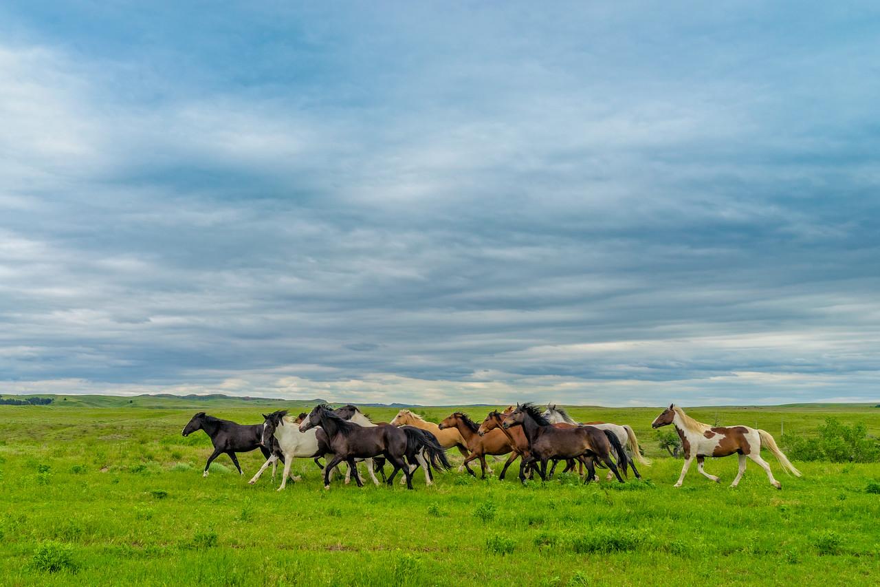 Wild Mustangs run free in the Black Hills of South Dakota.