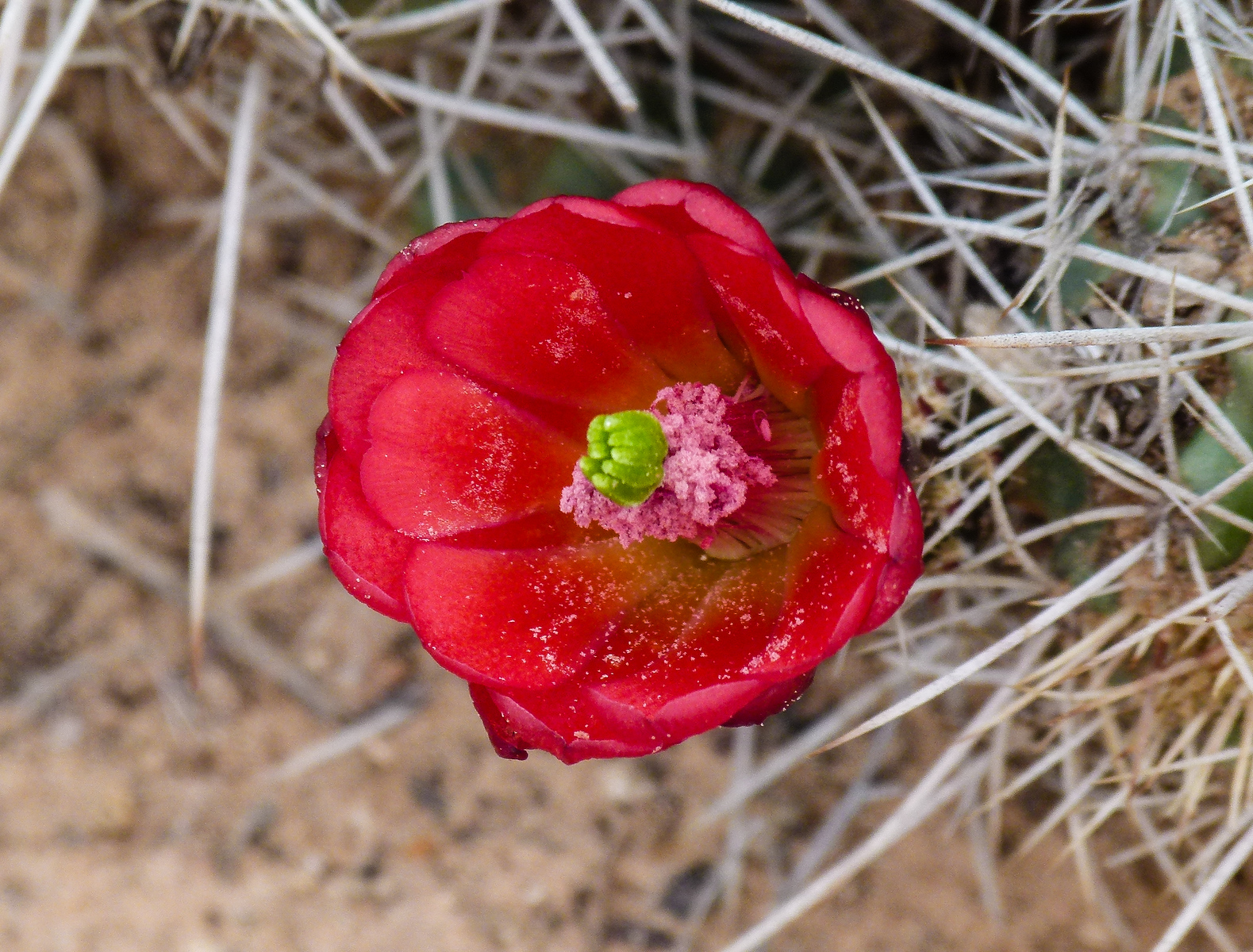A red cactus blooms near the Burr Trail in southern Utah.