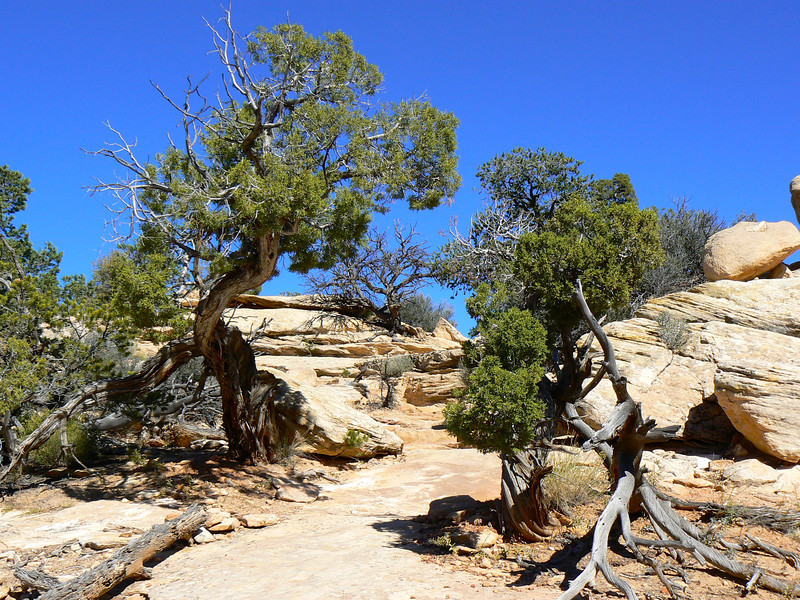 A high desert stone trail winds between two green junipers at Natural Bridges National Monument.