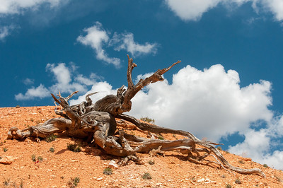 Dead branch in Bryce Canyon National Park in Utah