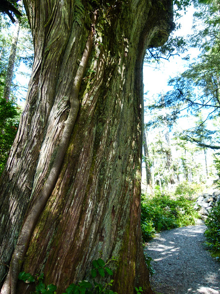 Boomer travel - Canada - The trees are huge on the Wild Pacific Trail in Ucluelet, B.C. You'll enjoy this walk on a Vancouver Island road trip that visits the west coast.