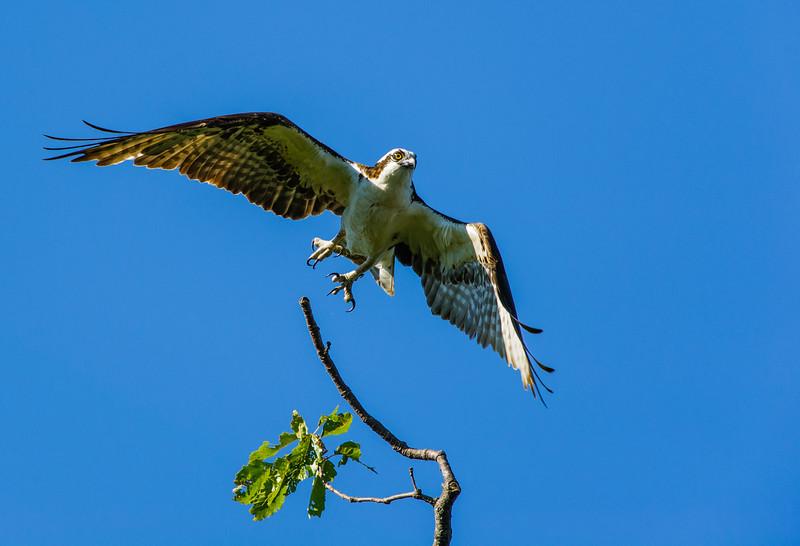 Osprey Launch