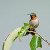 Hummingbird Hiatus