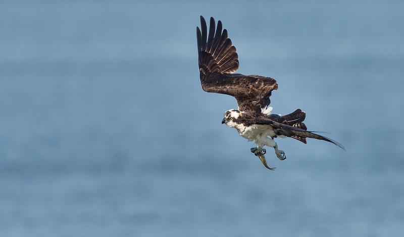 Osprey Dries In Flight