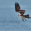 Osprey Dries In Flight