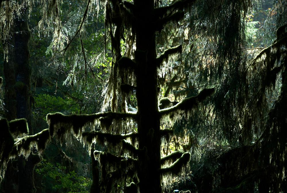 Moss on tree, Olympic National Park, Washington