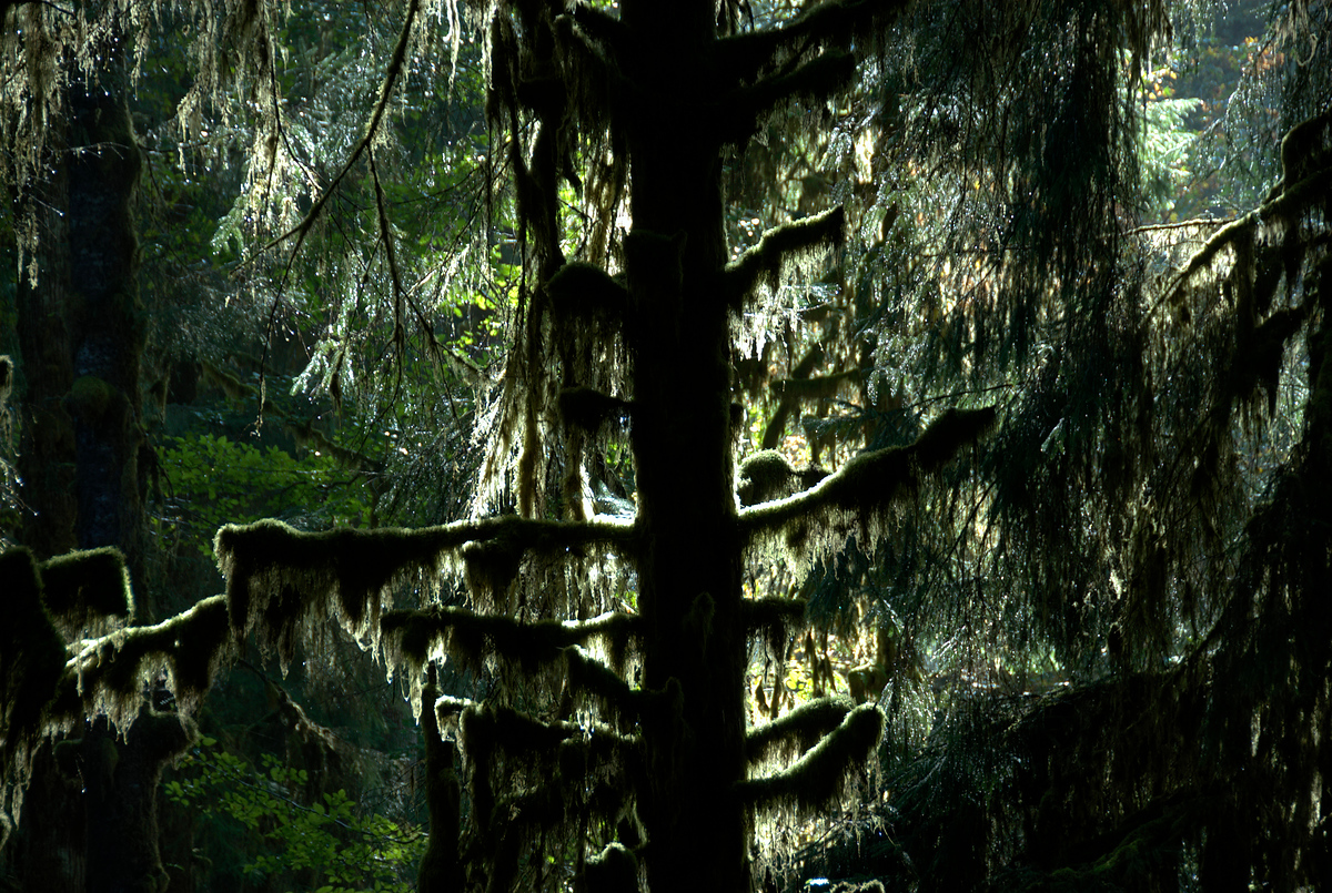 Moss on tree, Olympic National Park, Washington