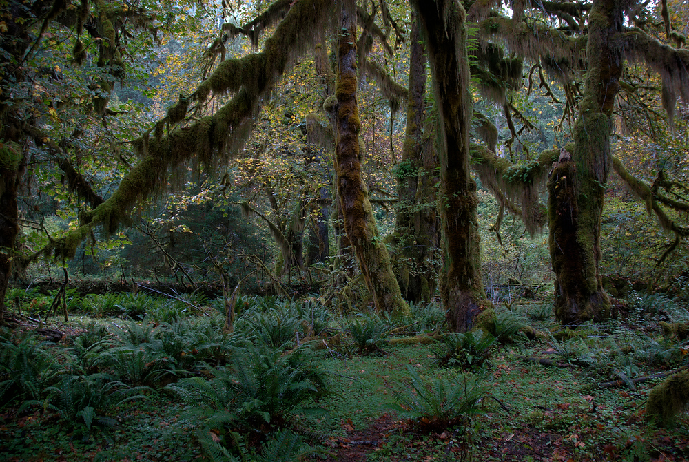 Ferns in the forest, Olympic National Park, Washington