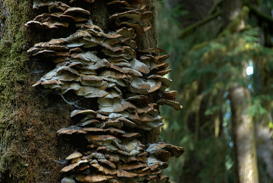 Fungus on a tree in Olympic National Park, Washington