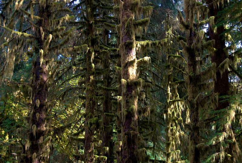 Mossy trees in Olympic National Park, Washington