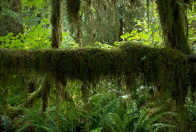 Moss on trees in Olympic National Park in Washington