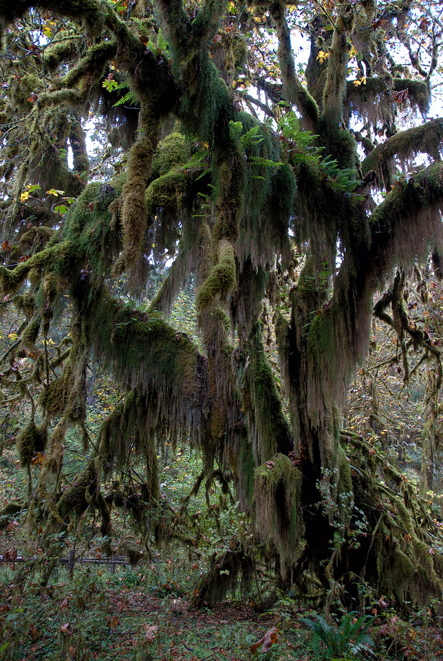 Mossy tree in Olympic National Park, Washington