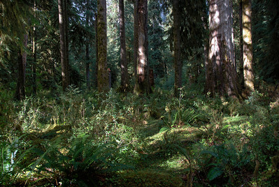 From the forest floor of OIympic National Park, Washington
