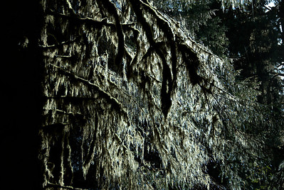 Close-up of trees in Olympic National Park, Washington