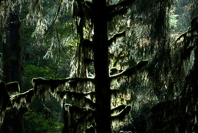 Silhouette of trees in Olympic National Park, Washington
