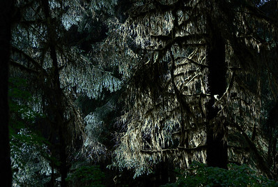 Trees in Olympic National Park in Washington